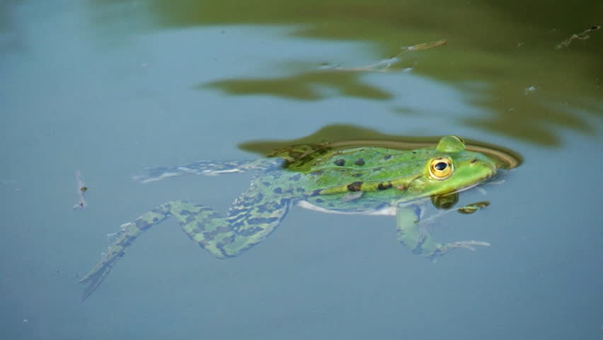 Stock Video Of Frog Swimming In Pond Close Up 4607750 Shutterstock
