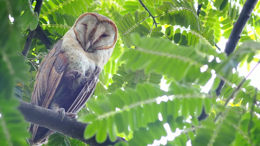 Barn owl sitting on a tree in the park