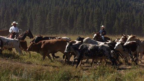 Cowboys herding cattle, slow motion