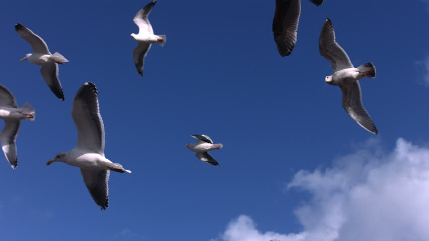 Flock of seagulls fly overhead, slow motion