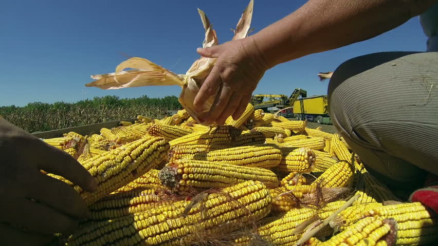 Human Hands Holding Corn After Harvest. Farmers at work in corn field. Harvest of Maize. Agricultural Production. Corn Harvest on Farmland . | Shutterstock HD Video #4627085