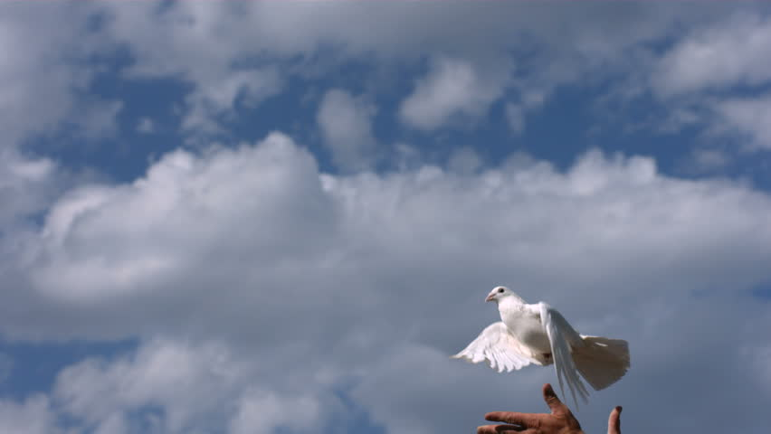Dove is released into sky, slow motion #4655993
