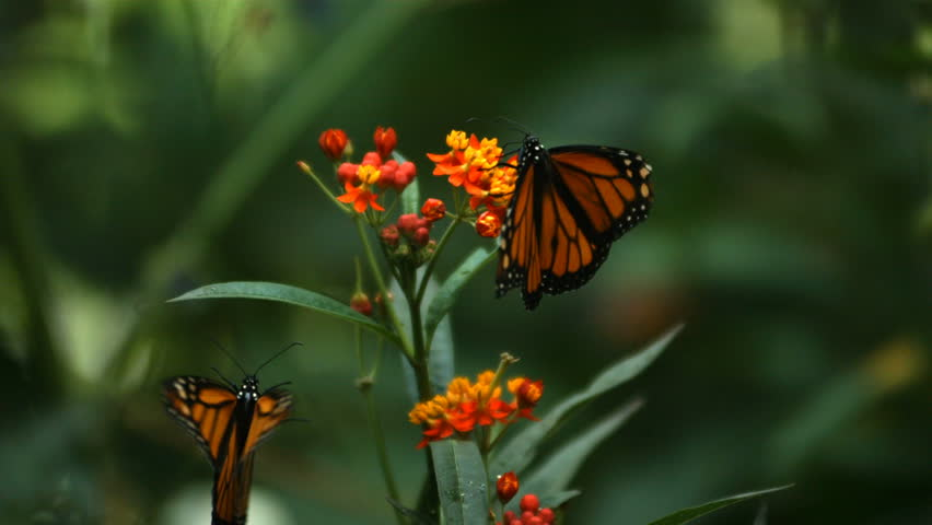 Monarch Butterfly, slow motion