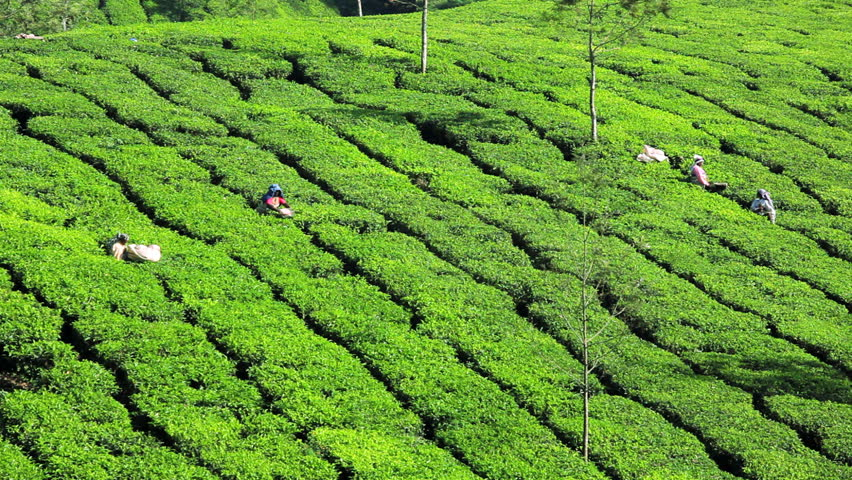 Tea Plantation Stock Video Footage - 4K and HD Video Clips ...