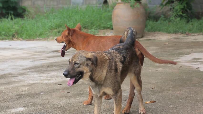 Dog Sex Stock Footage Video  Shutterstock-9634