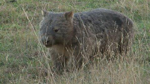 Wombat Walking. Wombats are short-legged, muscular quadrupedal marsupials, native to Australia.
