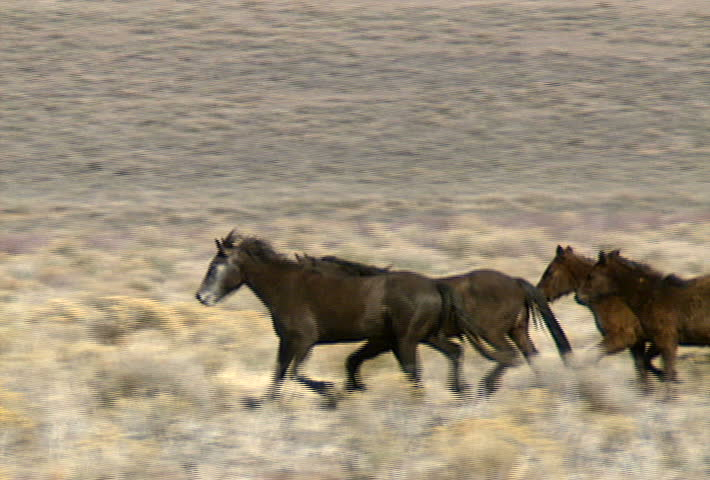 A group of wild horses move across the foothills near Reno, Nevada. #467650