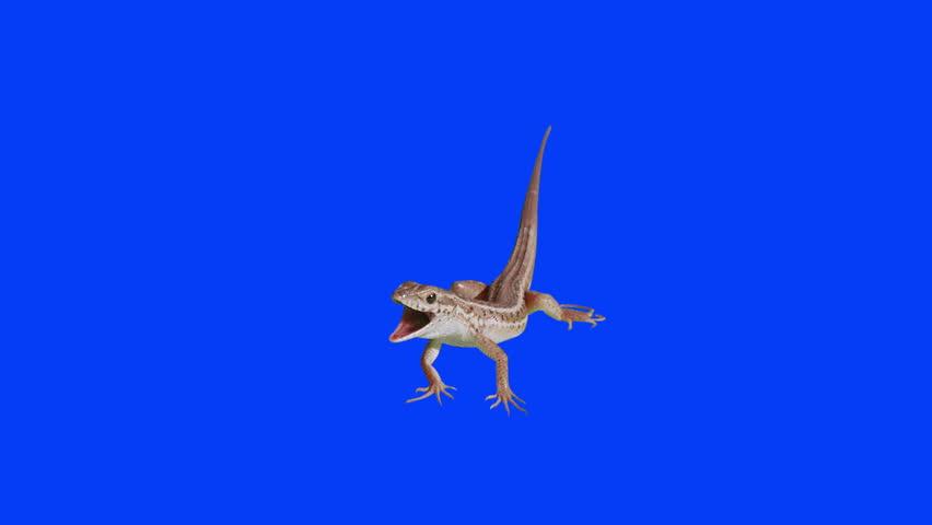 Lizard breathing like a dog on blue screen. Ready to be keyed.