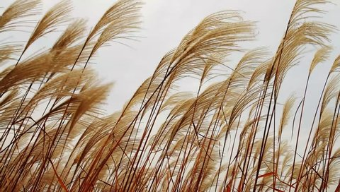 Silver feather grass swaying in wind at sunset