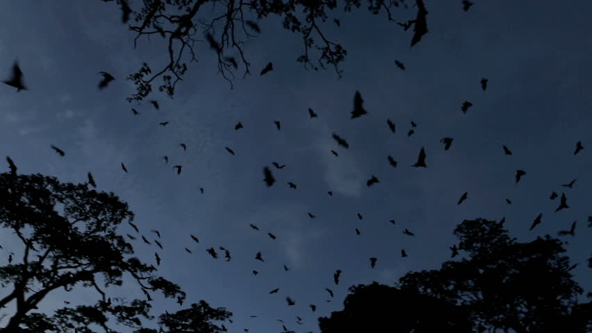Fruit bat (flying fox) colony mass exodus at dusk with bats filling sky, tracking shot #4811540