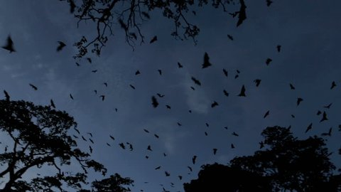 Fruit bat (flying fox) colony mass exodus at dusk with bats filling sky, tracking shot