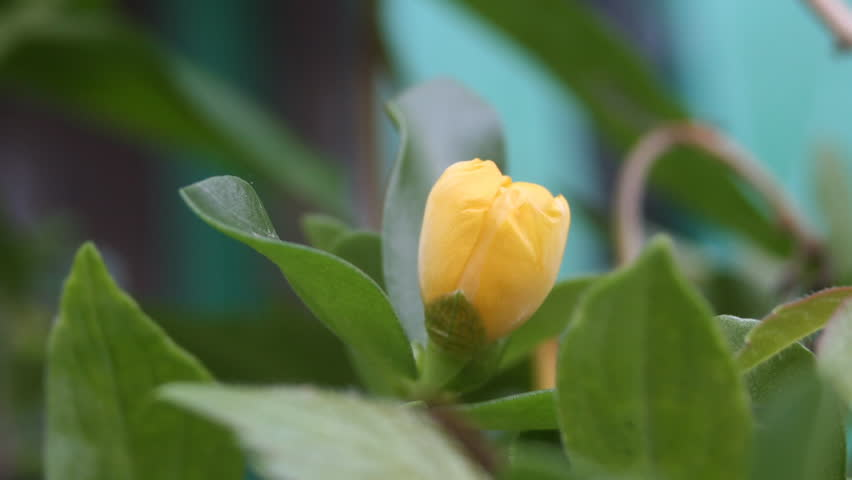 yellow flower opening Close Up