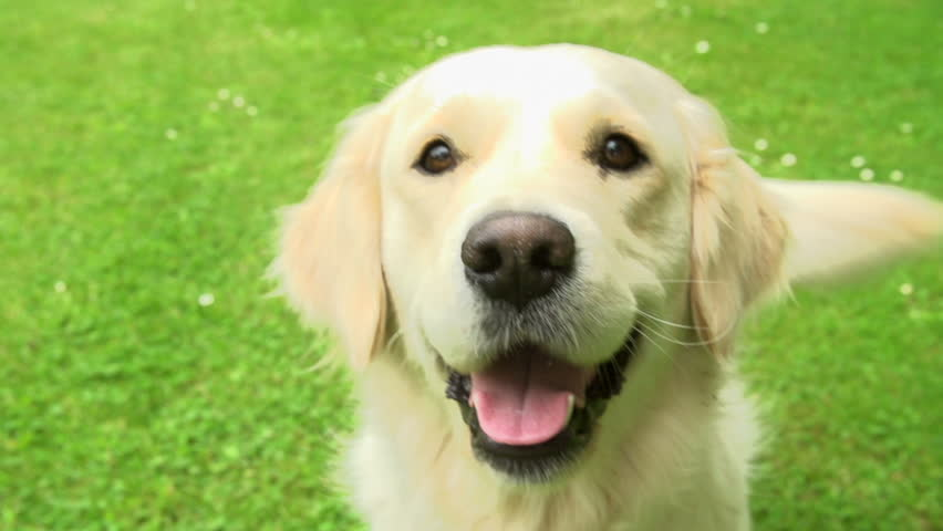 Beautiful golden retriever sits on grass wagging its tail in slow motion | Shutterstock HD Video #4885850