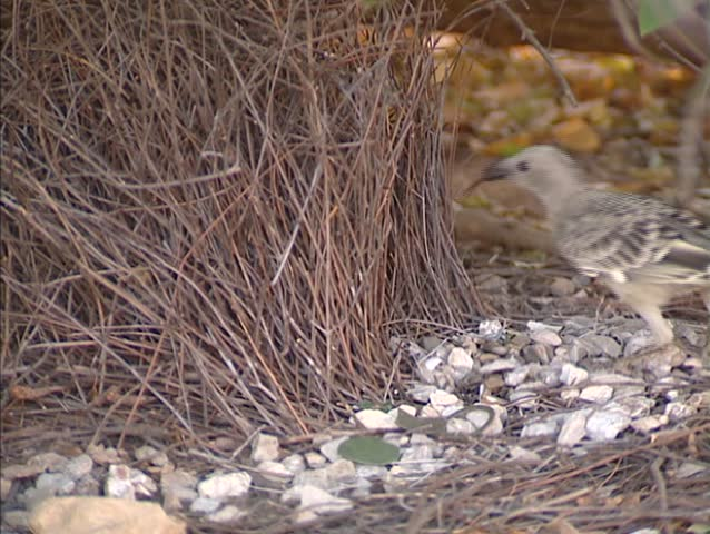 Great Bowerbird (chlamydera nuchalis) hops into his bower under a shrub - close up. Only a male with a successful bower can attract mates.