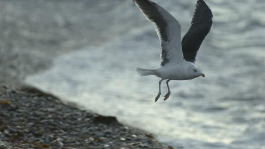 Seagull taking flight from rocky shoreline. 240 fps slow-motion.