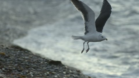 Seagull taking flight from rocky shoreline. 240 fps slow-motion.