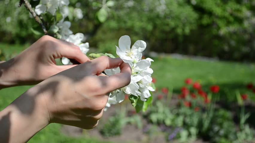 Woman hands gather pick apple tree white blooms from branch in spring garden and red tulip flowers on background.