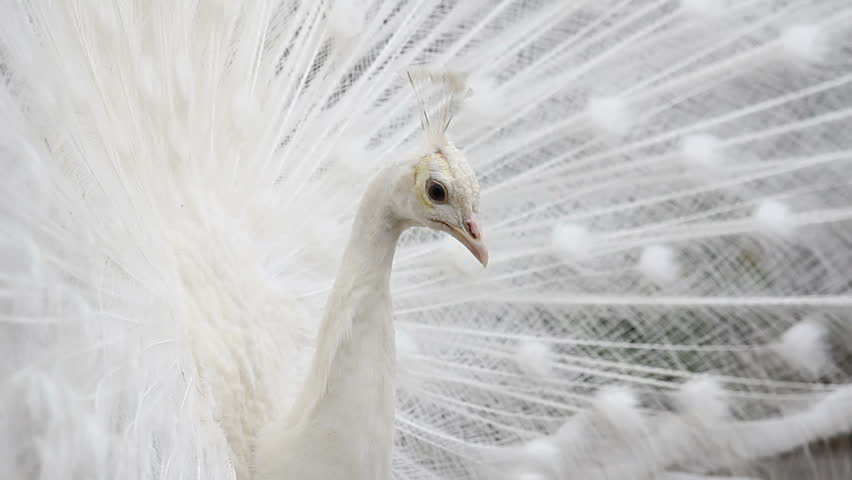 Elegance portrait, beautiful white peacock  with open feather look to camera