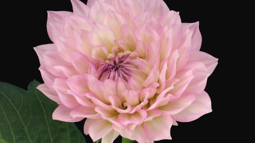 Pink flower free video clips 223 free downloads time lapse of blooming pink dahlia georgine flower 4x1 in png format with mightylinksfo
