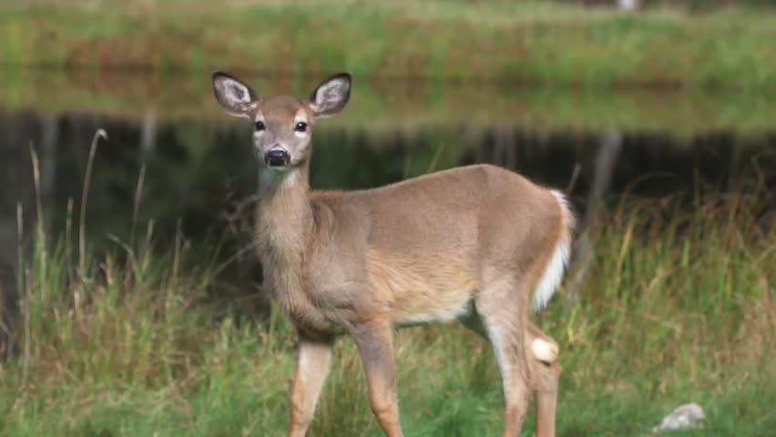 female mule deer standing next stock footage video  100