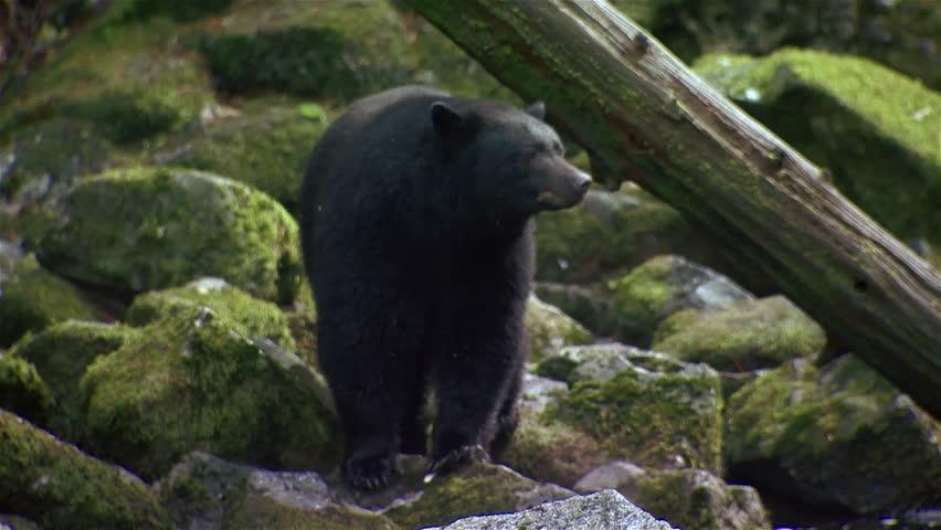 Black bear walking through a stream in a British Columbia rain forest.