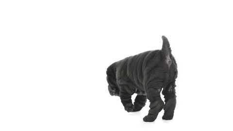 Shar pei puppy standing then falls down
