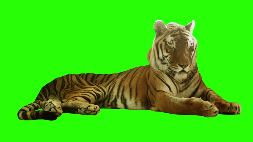Tired tiger lying on green screen. Shot with red camera. Ready to be keyed. | Shutterstock HD Video #5111063