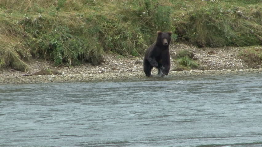 A brown bear runs down shore and leaps and stands in the Chilkoot River
