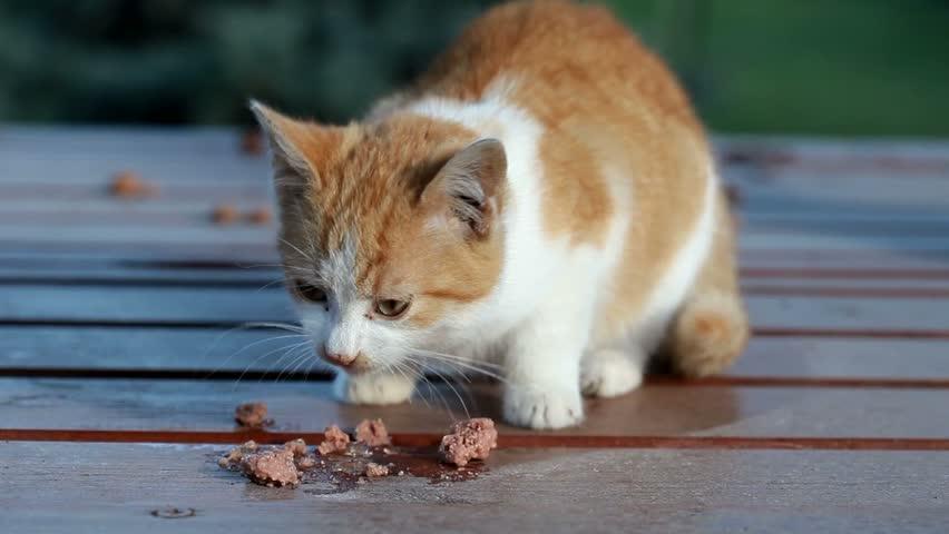Little orange cat eating food