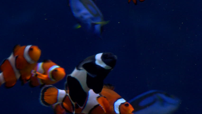 Live tropical, colorful fish underwater.  Two breeds of clown fish and blue tang.