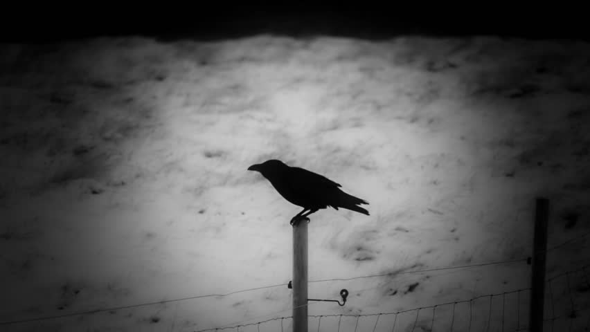 Raven perched on a fence