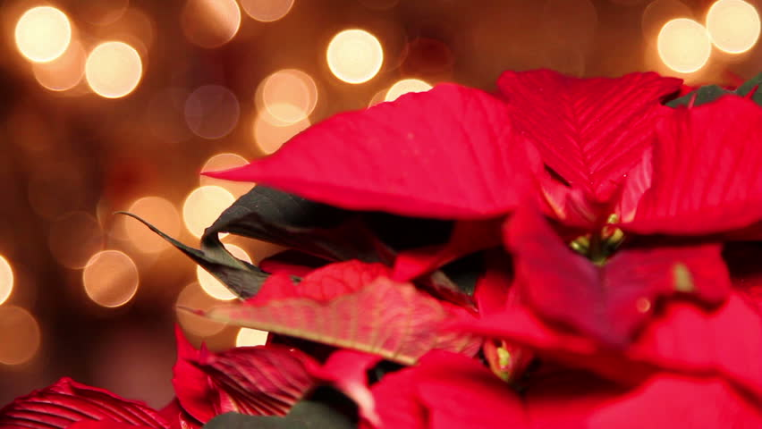 Red Poinsettia Or Christmas Flower With Light Effects And ...