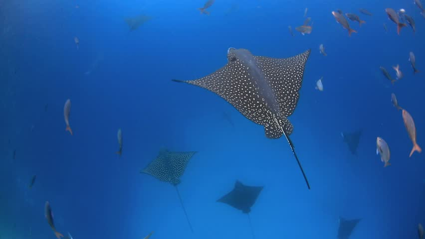 Spotted eagle rays swimming in Kicker Rock channel in the Galapagos Islands