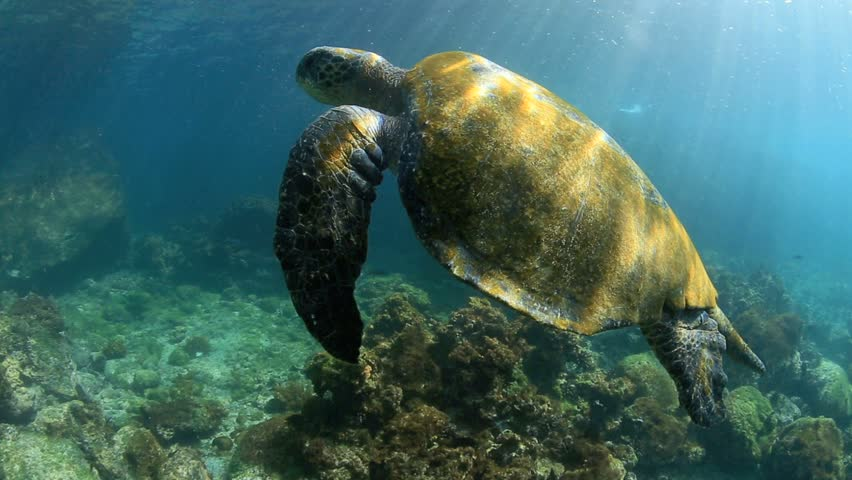 Green sea turtle underwater coming up for air in the Galapagos Islands