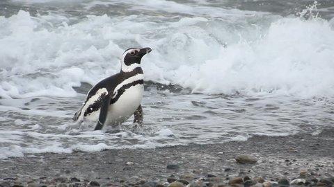 Magellanic Penguin (Spheniscus magellanicus) walking on Patagonia beach. Natural habitat
