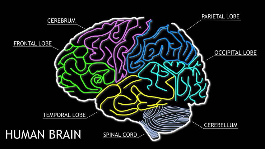 Animated human brain - photo#48