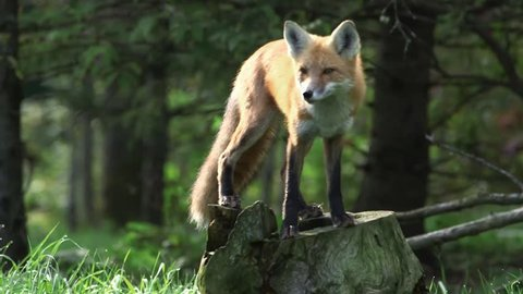Fox standing on a stump in a lush woodland. (Pan)