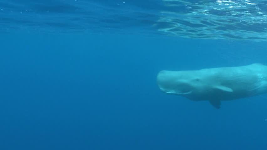 Sperm whale video clip