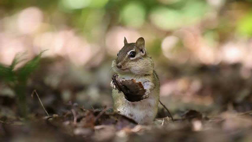 Adult female chipmunk energetically eating a piece of forest mushroom