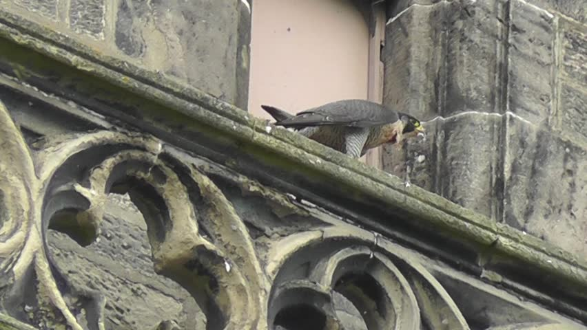 Peregrine Falcon on church ledge plucking pigeon feathers