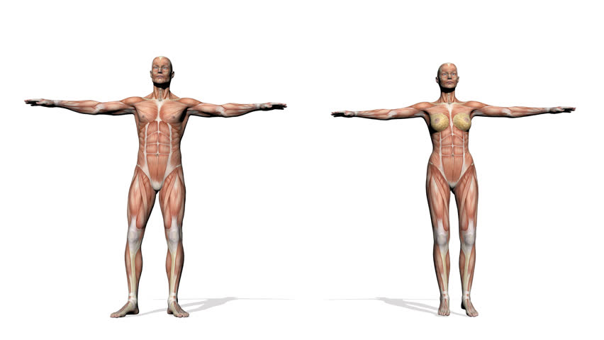 male human anatomy showing full body rotation, muscular system, Muscles