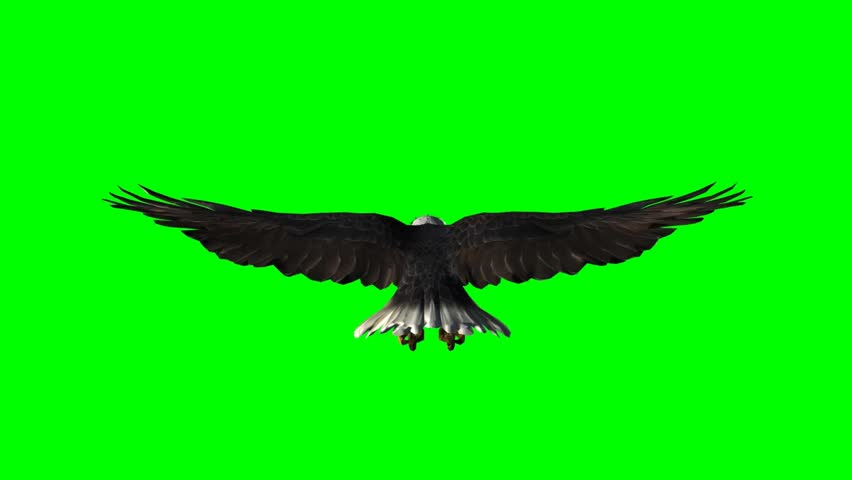 American Eagle in fly - seperated on green screen