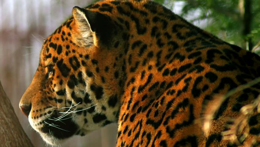 jaguar animal in forest