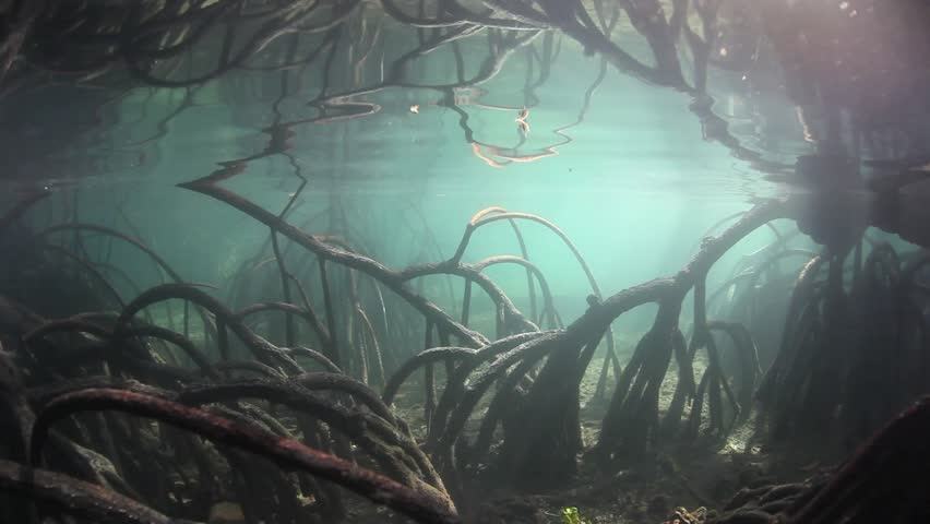 Mangrove prop roots (Rhizophora sp.) curve down into the soft sediment of a flooded mangrove forest in Indonesia. Mangroves are important ecologically, serving as vital nurseries for marine life.