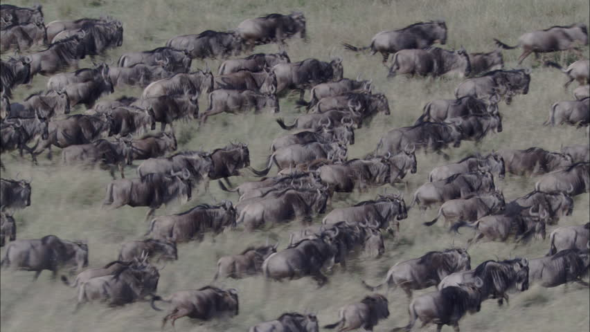 Wildebeest Herd Migration. A skying look over a large herd of wildebeest running. The shot wonderfully captures the herd migrating through the savannas of Africa. | Shutterstock HD Video #5460005