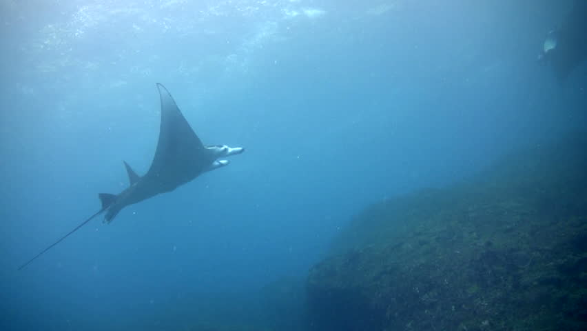 Bunch of giant manta ray (Manta birostris) swimming over reef