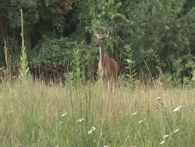 Deer grazing, looking towards camera
