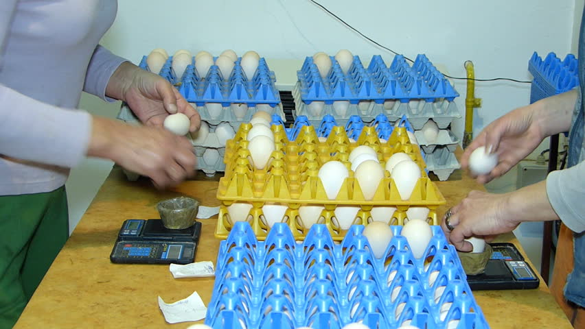 Women sorting and classifying chicken eggs on the farm