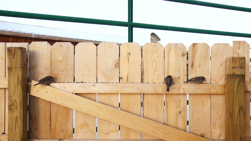 Sparrows on fence sunrise wooden new mexico nm | Shutterstock HD Video #5525180