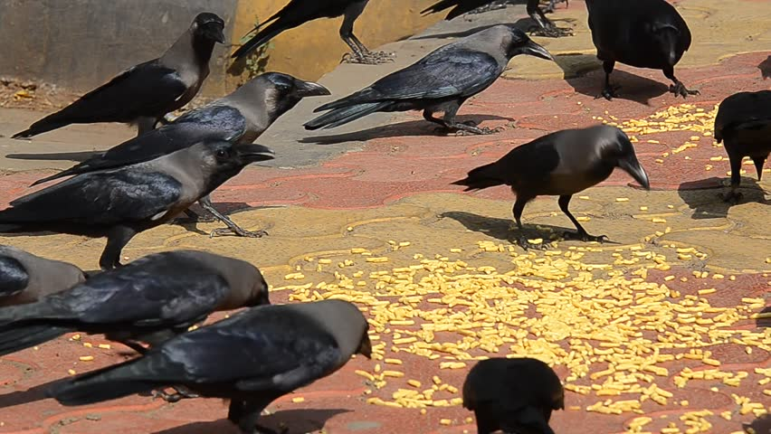 Image result for crows eating